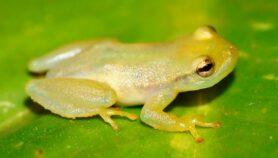 Anfibios invasores amenazan hábitats de Brasil