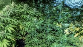 Uso de marihuana medicinal se abre paso en Sudamérica