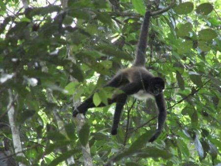 Brasil: hallan malaria transmitida de monos a humanos