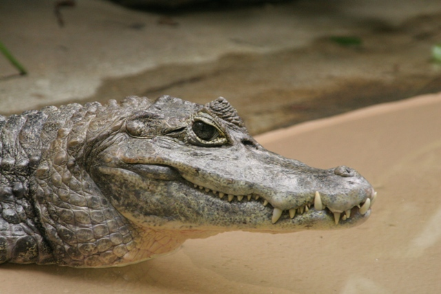 Spectacled_Caiman St Louis Zoo Robert Lawton Wikipedia