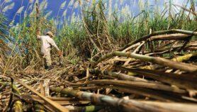 Caña de azúcar: aliada de energías limpias