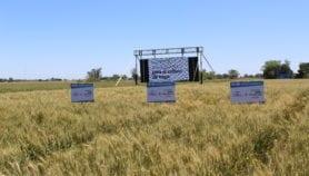Argentina cerca de aprobar primer trigo transgénico del mundo
