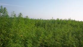 Paraguay otorga licencias para producir cannabis medicinal