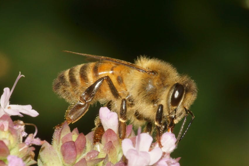 abeja abridora