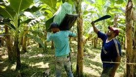 Cambio climático modificará producción mundial de bananas