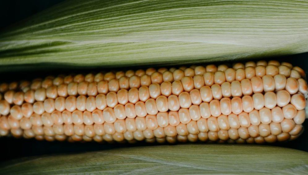 close-up-corn-corn-cob-1353866