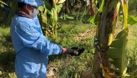 Colombia declara emergencia por hongo letal de banano