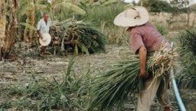 En el Brasil rural, enfermedades crónicas más frecuentes en agricultores