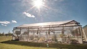 Argentina aprobó trigo transgénico resistente a sequías