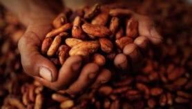 Plaga pone en jaque la producción de cacao