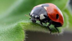 Study estimates true value of ladybird as biocontrol