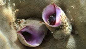 Overfishing fosters growth of coral-eating snails