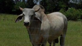 Methane from Indian livestock adds to global warming