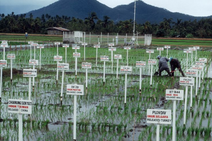 Experimental field for rice plants
