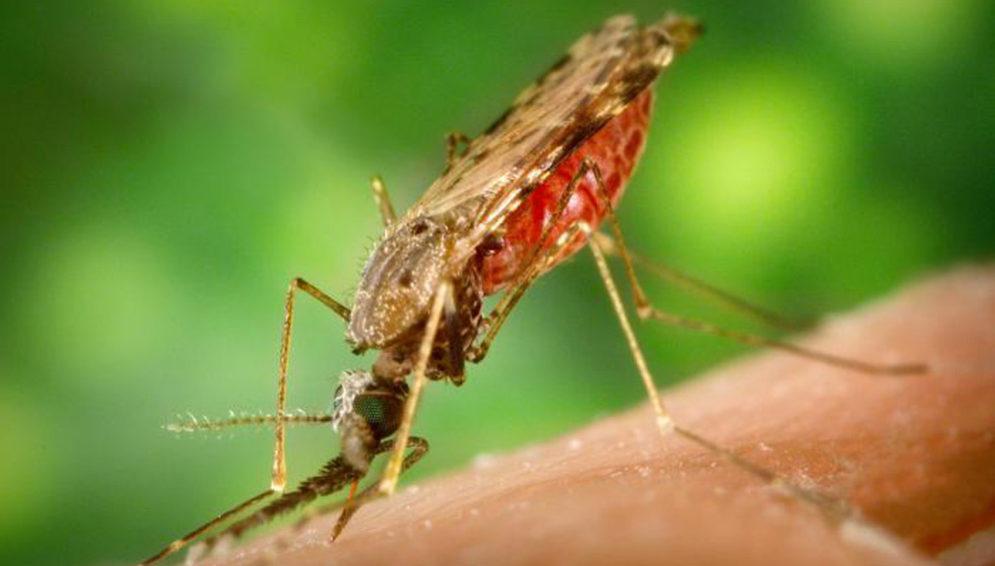 malaria mosquito-main