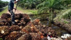 Indonesia's biofuel subsidies may speed up forest loss