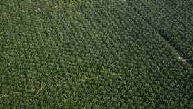 Mutation discovered in oil palm genes: a game changer?