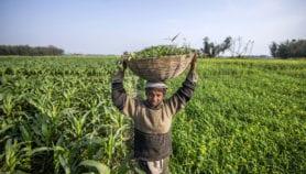 Politics plague India's GM food crop plans