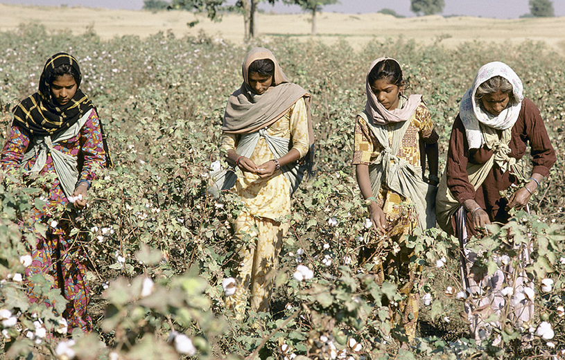 cotton picking in India-main
