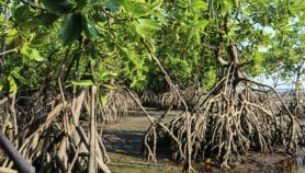 Myanmar's mangroves depleting faster than thought