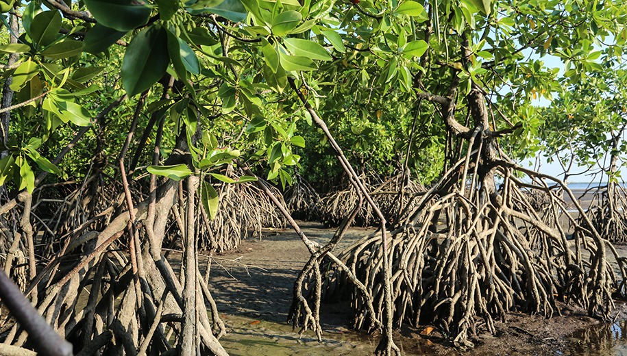 mangroves - main