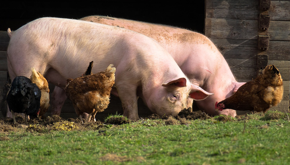 Swine fever raises fears of bird flu pandemic