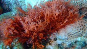 Mimicked red algae enzyme used to boost crop yields
