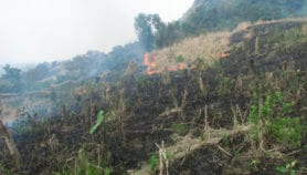 Dwarf bamboo stoking forest fires in northeast India