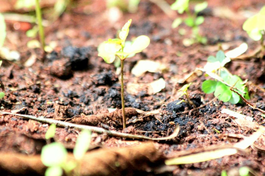 A four-month-old Moringa tree (Moringa oleifera), an indigenous Kenyan specie, sprouting from Kinyanjui's farm. The tree is used to make tea and has medicinal value.