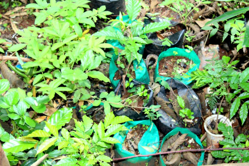 Seedlings in plastic bags, which have been banned by the Ministry of Environment and Natural Resources in Kenya. According to Kinyanjui, the plastic bags squeeze the roots of the seedlings, preventing them from growing naturally.
