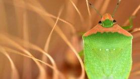 Crop pests 'vastly underestimated' warns study