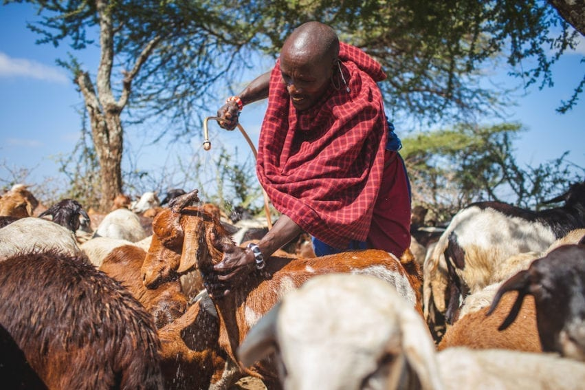 A pastoralist sprays his animals with tick repellant to prevent tick-borne disease. Pastorialists have access to veterinary medicines for disease treatment and prevention, but products can be of variable quality in rural areas. Substandard medicines prevent effective disease control and can increase antibiotic resistance in livestock