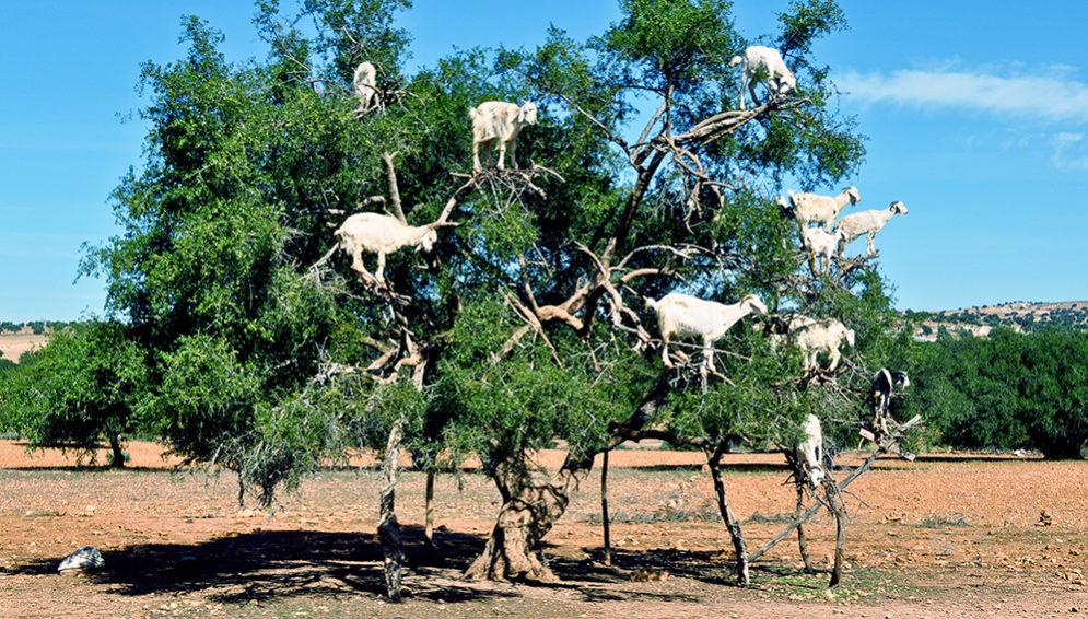 Argan Oil Goat tree - Main
