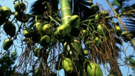 Treatment hope for betel nut addicts