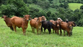 Intensification of cattle ranching doesn't always help reduce deforestation