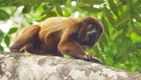 Human malaria spread from monkeys found in Brazil