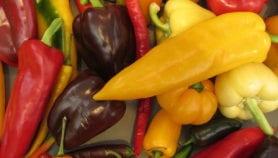 Crop thrives on urine-compost mix