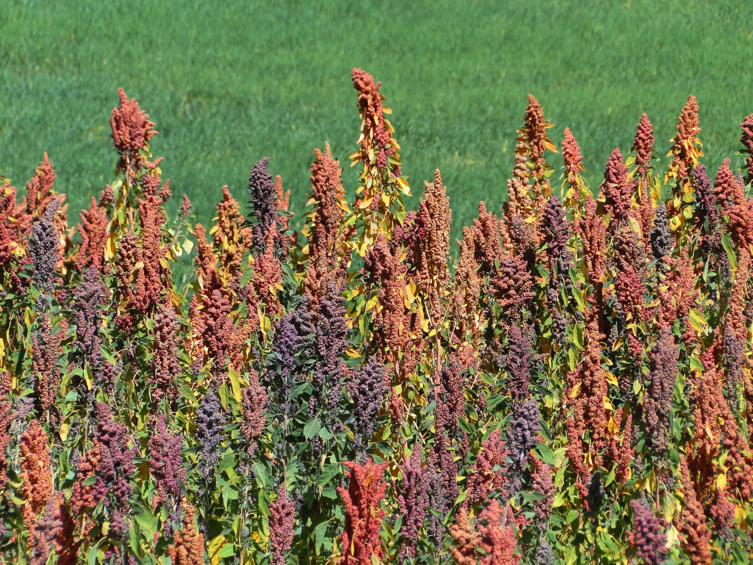 Bolivian researchers sound alarm over quinoa farming