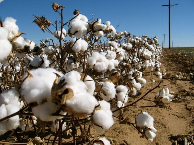 Cotton_field_USA_WikimediaCommons_3072x2304