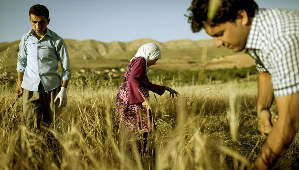 Iraq wheat - Main