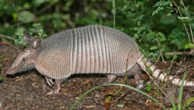 Brazil suspects leprosy spreads through armadillos