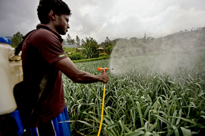 A farmersprays a pesticide on a field of growing leeks