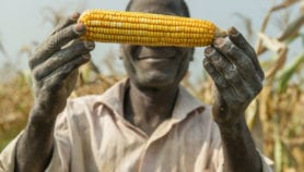 GM crop delays mean Africa loses benefits