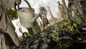 Aspirin precursor defends acacia plants from drought