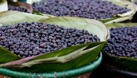 Açaí fruit can transmit Chagas disease