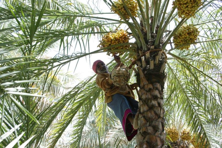 Arabic Date Farmer_Flickr_Visit Abu Dhabi