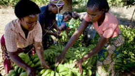 Scientists race to halt banana catastrophe