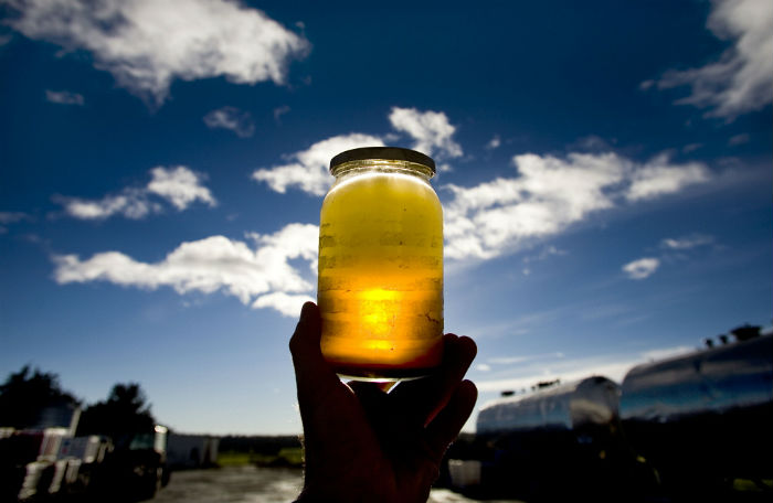 Egypt produces jet biofuel from jatropha