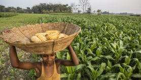 GM crops bounce back with gains in production areas