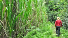 Brazil's transgenic sugarcane stirs up controversy